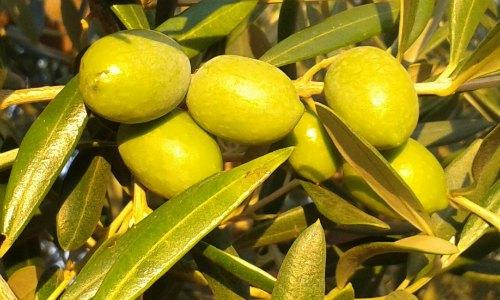 Olivenöl wird aus Oliven gemacht